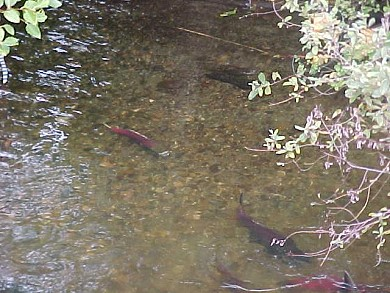 Salmon in Issaquah Creek,